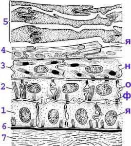 Mammalian-epidermis