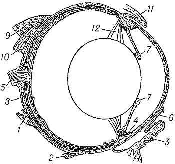 Amphibians eye